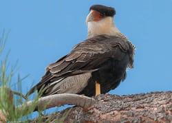patagonia-wildlife_crested-caracara