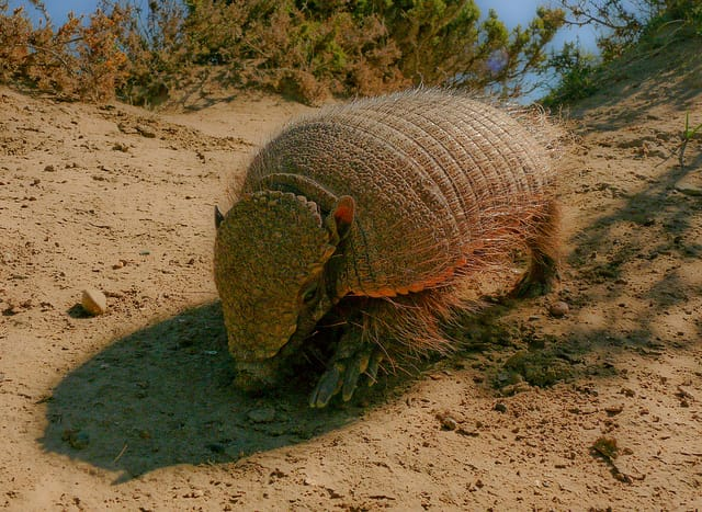 Larger Hairy Armadillo - Patagonia, Argentina