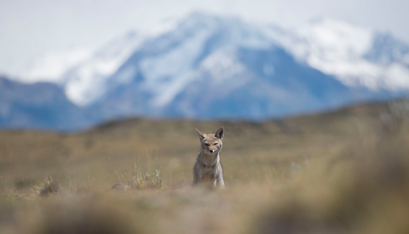 Culpeo Fox in the wilderness - Los Glaciares National Park